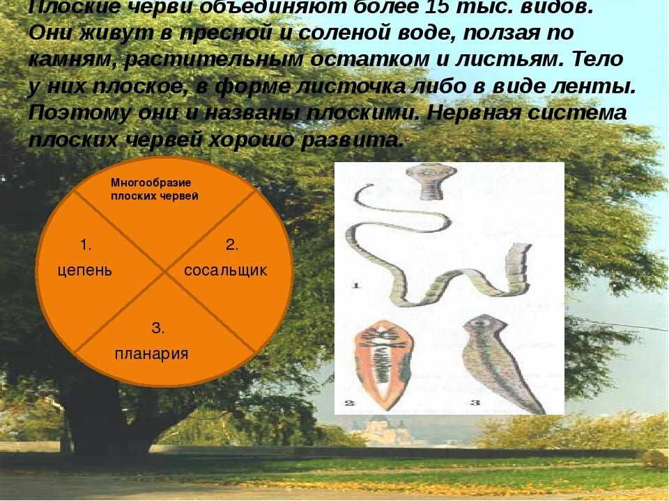 Плоские черви объединяют более 15 тыс. видов. Они живут в пресной и соленой...