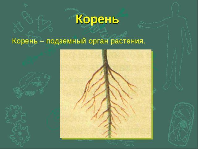 Корень Корень – подземный орган растения.