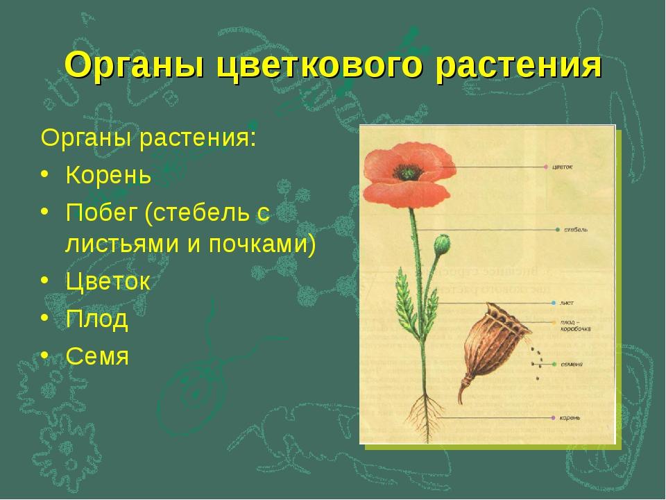 Органы цветкового растения Органы растения: Корень Побег (стебель с листьями...