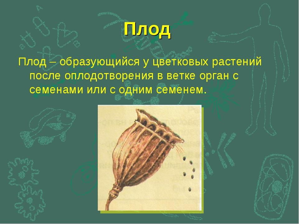 Плод Плод – образующийся у цветковых растений после оплодотворения в ветке ор...