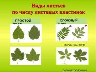 Виды листьев по числу листовых пластинок ПРОСТОЙ ЛИСТ СЛОЖНЫЙ ЛИСТ ПЕРИСТОСЛО