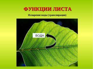 ФУНКЦИИ ЛИСТА Испарение воды (транспирация) ВОДА