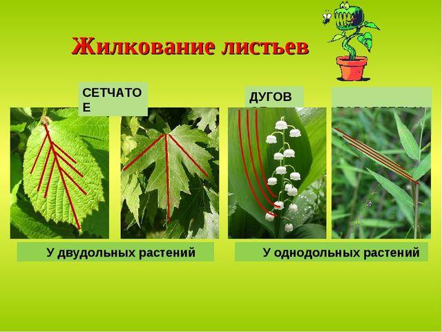 Жилкование листьев ПАРАЛЛЕЛЬНОЕ ДУГОВОЕ У двудольных растений У однодольных р...