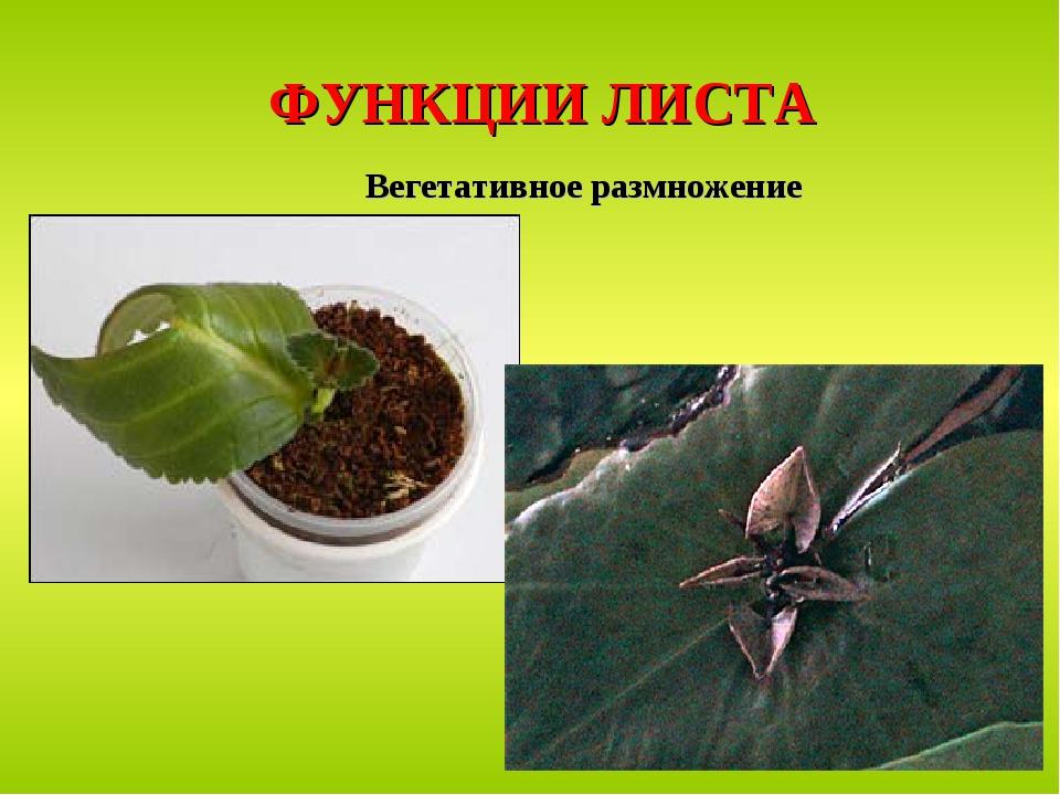 ФУНКЦИИ ЛИСТА Вегетативное размножение