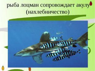 рыба лоцман сопровождает акулу (нахлебничество)