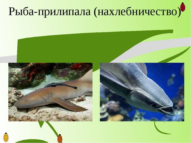Рыба-прилипала (нахлебничество)