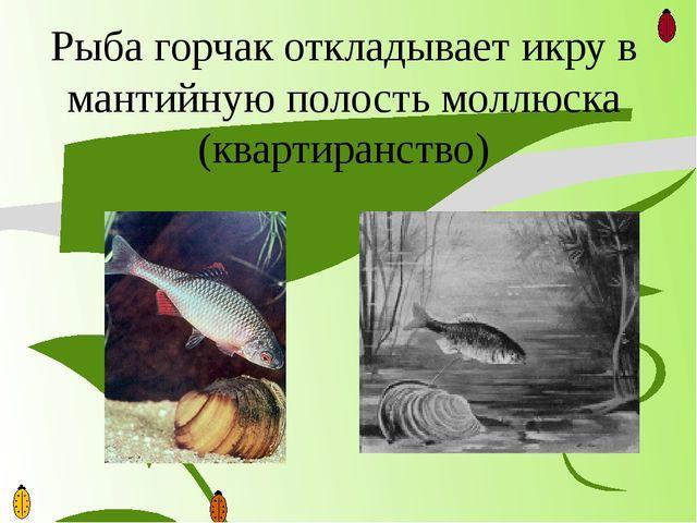 Рыба горчак откладывает икру в мантийную полость моллюска (квартиранство)