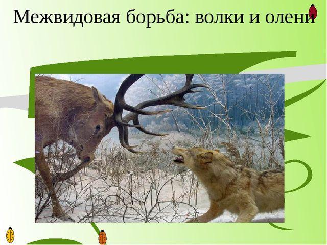 Межвидовая борьба: волки и олени