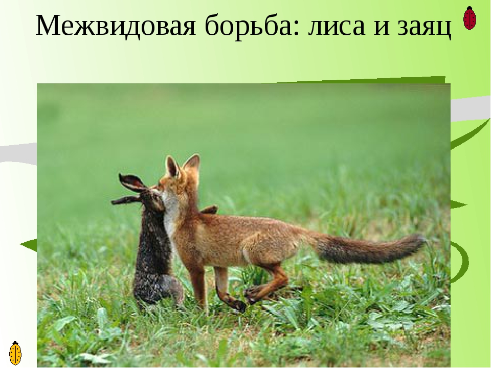 Межвидовая борьба: лиса и заяц