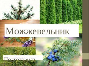 Можжевельник Подготовила Бережная Анна 6 «З»