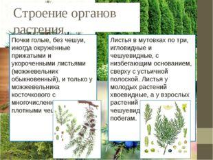 Строение органов растения Почки голые, без чешуи, иногда окружённые прижатыми