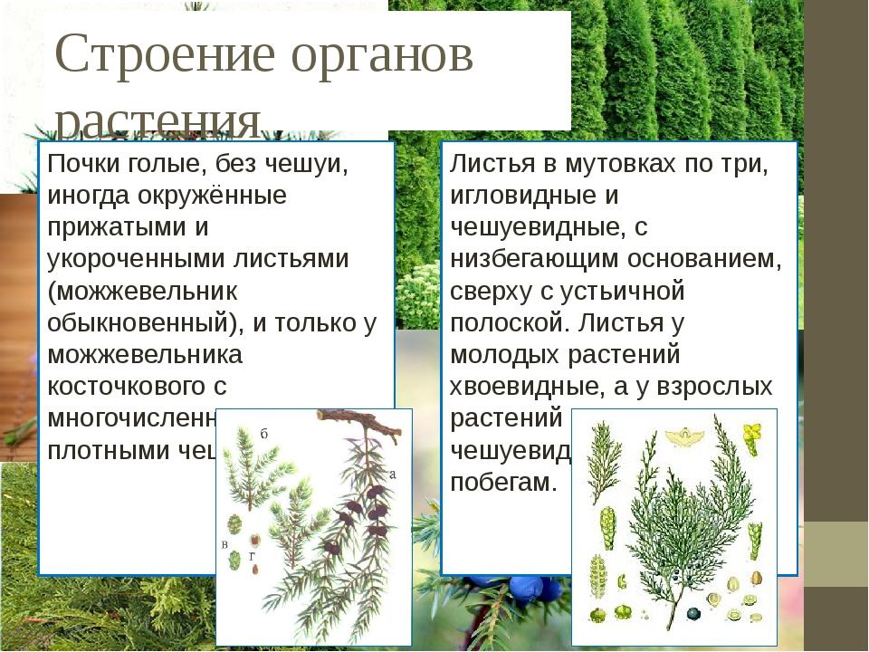 Строение органов растения Почки голые, без чешуи, иногда окружённые прижатыми...