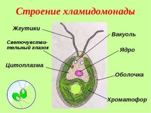 Строение хламидомонады Жгутики Ядро Хроматофор Светочувстви-тельный глазок Ва