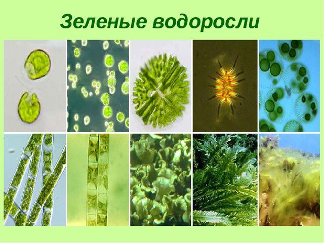 Зеленые водоросли