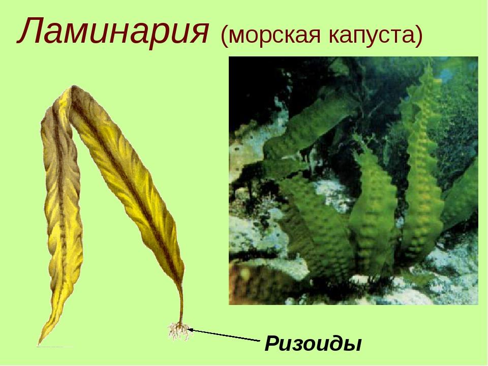 Ламинария (морская капуста) Ризоиды