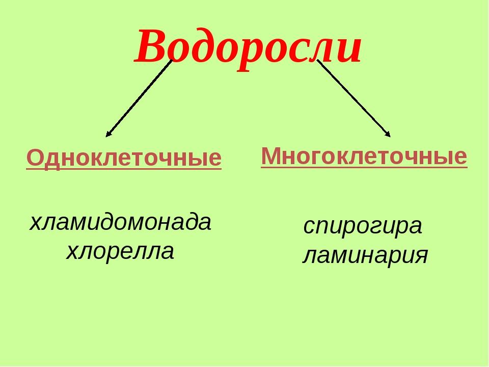 Водоросли хламидомонада хлорелла спирогира ламинария Многоклеточные Одноклето...
