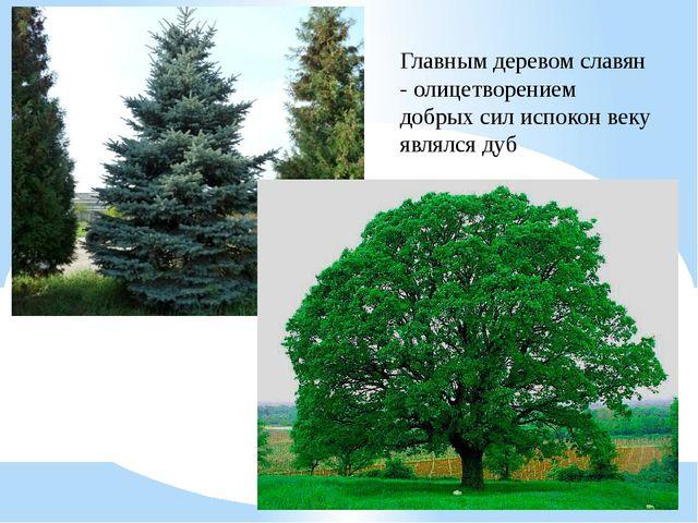 Главным деревом славян - олицетворением добрых сил испокон веку являлся дуб