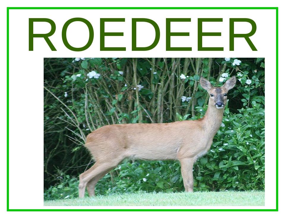 ROEDEER