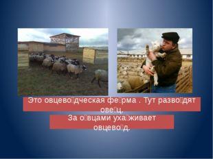 Это овцево̀дческая фѐрма . Тут разво̀дят овѐц. За о̀вцами уха̀живает овцево