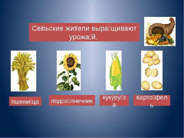 Сѐльские жѝтели выра̀щивают урожа̀й. подсо̀лнечник пшенѝца кукуру̀за карто...