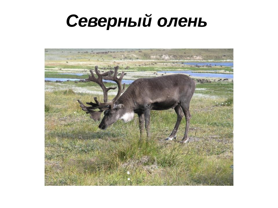 Северный олень
