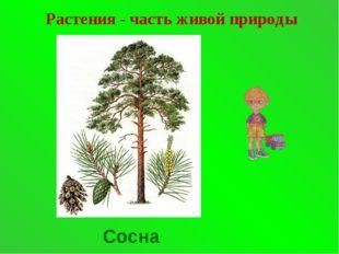 Растения - часть живой природы Сосна