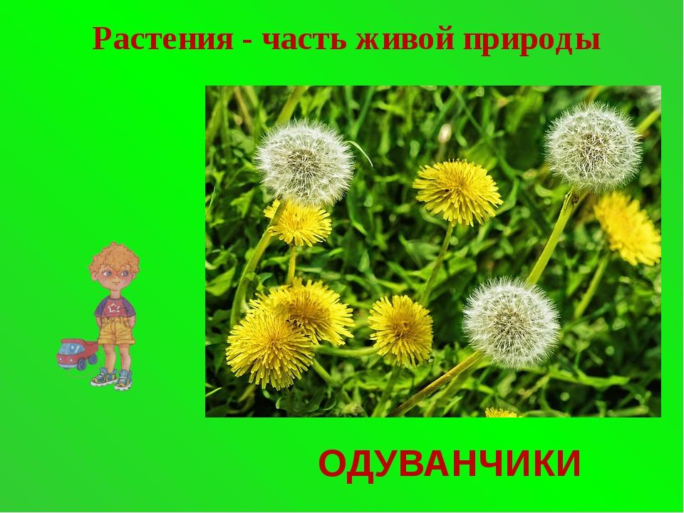 ОДУВАНЧИКИ Растения - часть живой природы