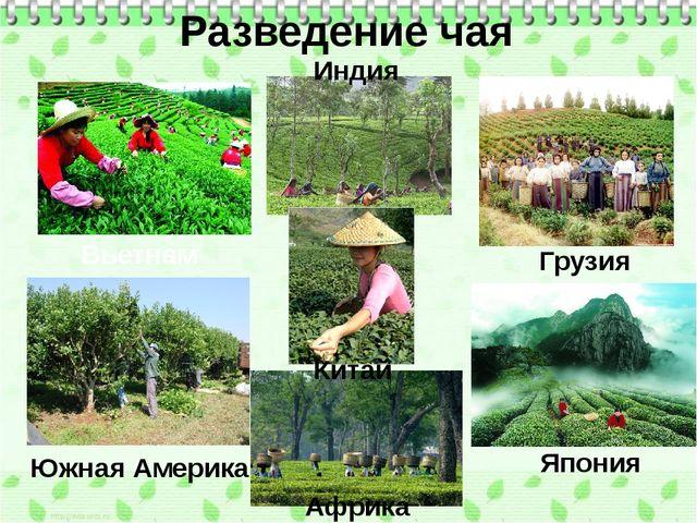 Разведение чая Вьетнам Индия Грузия Китай Южная Америка Япония Африка