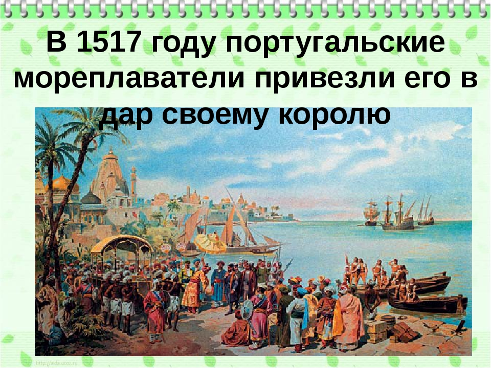 В 1517 году португальские мореплаватели привезли его в дар своему королю