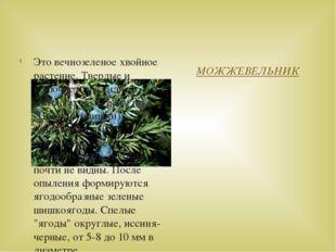 МОЖЖЕВЕЛЬНИК Это вечнозеленое хвойное растение. Твердые и колючие иглы сидят