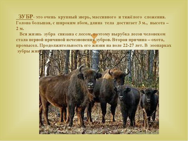 ЗУБР- это очень крупный зверь, массивного и тяжёлого сложения. Голова больша...