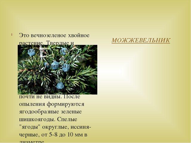 МОЖЖЕВЕЛЬНИК Это вечнозеленое хвойное растение. Твердые и колючие иглы сидят...