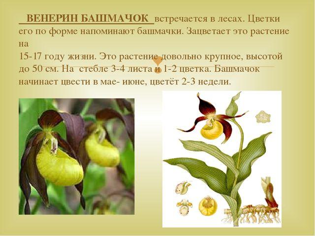 ВЕНЕРИН БАШМАЧОК встречается в лесах. Цветки его по форме напоминают башмачк...