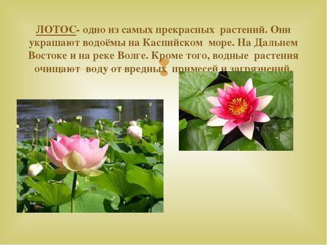 ЛОТОС- одно из самых прекрасных растений. Они украшают водоёмы на Каспийском...
