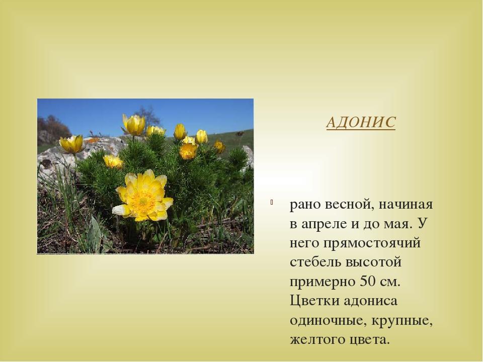 АДОНИС рано весной, начиная в апреле и до мая. У него прямостоячий стебель в...
