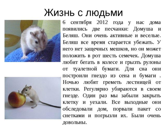 Жизнь с людьми 6 сентября 2012 года у нас дома появились две песчанки: Домуша...