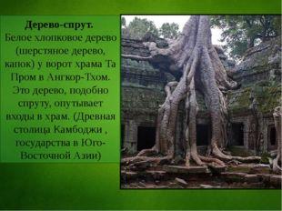 Дерево-спрут. Белое хлопковое дерево (шерстяное дерево, капок) у ворот храма