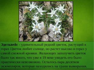 Эдельвейс - удивительный редкий цветок, растущий в горах Цветок любит солнце,