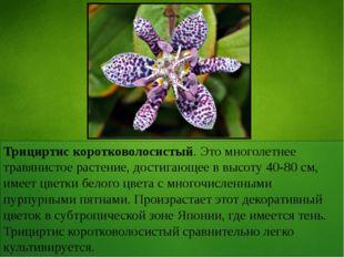 Трициртис коротковолосистый. Это многолетнее травянистое растение, достигающе