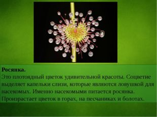 Росянка. Это плотоядный цветок удивительной красоты. Соцветие выделяет капель