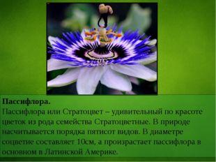 Пассифлора. Пассифлора или Стратоцвет – удивительный по красоте цветок из род