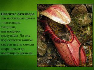 Непентес Аттенборо. эти необычные цветы – настоящие хищники, питающиеся грызу
