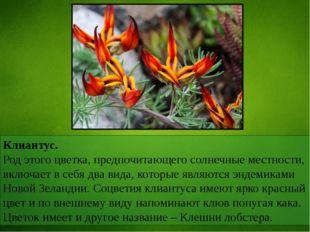 Клиантус. Род этого цветка, предпочитающего солнечные местности, включает в с