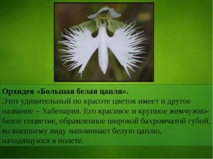 Орхидея «Большая белая цапля». Этот удивительный по красоте цветок имеет и др