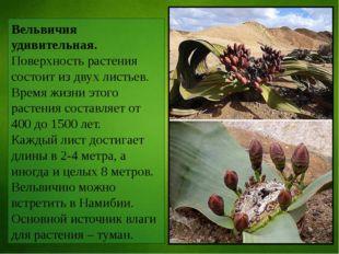 Вельвичия удивительная. Поверхность растения состоит из двух листьев. Время ж
