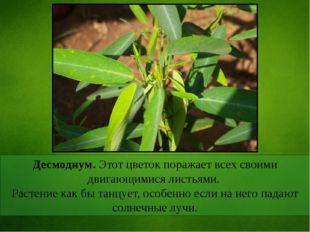 Десмодиум. Этот цветок поражает всех своими двигающимися листьями. Растение к