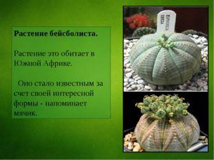 Растение бейсболиста. Растение это обитает в Южной Африке. Оно стало известны