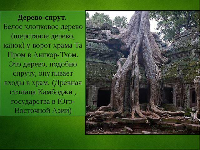 Дерево-спрут. Белое хлопковое дерево (шерстяное дерево, капок) у ворот храма...