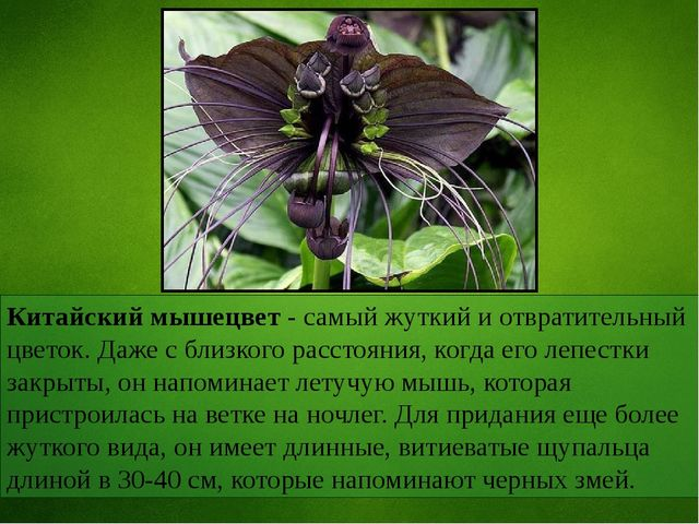 Китайский мышецвет - самый жуткий и отвратительный цветок. Даже с близкого ра...
