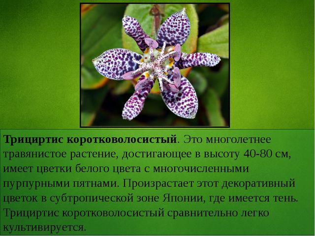 Трициртис коротковолосистый. Это многолетнее травянистое растение, достигающе...